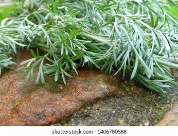 Wormwood, absinthium (Artemisia absinthium, absinthe, absinthium, sagebrush, mugwort). Medicinal plant. Bunch of wormwood herb  leaves on wet old stone wall.