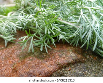 Wormwood, absinthium (Artemisia absinthium, absinthe, absinthium, sagebrush, mugwort). Medicinal plant. Bunch of wormwood herb  leaves on wet old stone wall.