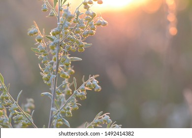 Wormwood. Flowering absinthium. Medicinal plant. Background blur. Wormwood on the field at sunrise or sunset