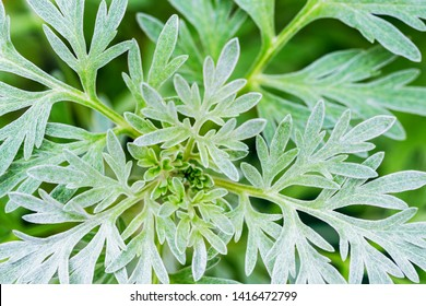 Wormwood green grey leaves background. Artemisia absinthium ( absinthium, absinthe wormwood ) green gray plant, close up macro, top view