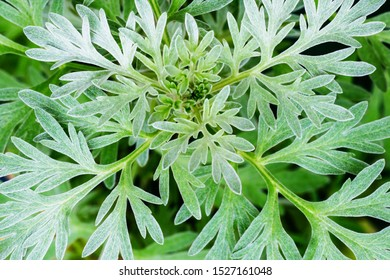Wormwood green grey leaves background. Artemisia absinthium ( absinthium, absinthe wormwood ) gren gray plant, closeup macro, top view