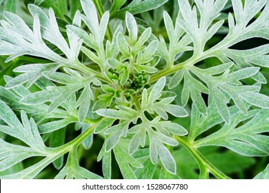 Wormwood green grey leaves background. Artemisia absinthium ( absinthium, absinthe wormwood ) gren gray plant, closeup macro, top view.