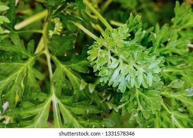 Wormwood leaves background. Artemisia absinthium ( absinthe, absinthium, absinthe wormwood, wormwood ) plant, close up