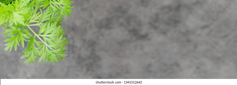 Wormwood leaves background. Artemisia absinthium ( absinthe, absinthium, absinthe wormwood, wormwood ) plant, close up on grey background, banner