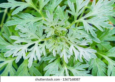 Wormwood leaves background. Artemisia absinthium ( absinthe, absinthium, absinthe wormwood, wormwood ) plant, close up macro