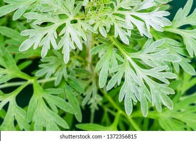 Wormwood leaves background. Artemisia absinthium ( absinthe, absinthium, absinthe wormwood, wormwood ) plant, close up macro