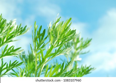 Wormwood plant close up