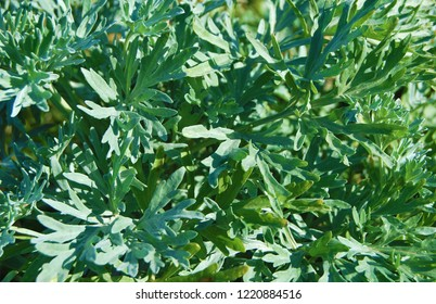 Wormwood plant close up, leaves of absinthe wormwood in the wild