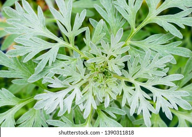 Wormwood sagebrush green grey leaves background. Artemisia absinthium ( absinthium, absinthe wormwood ) gren gray plant, close up macro, top view