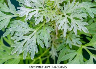 Wormwood sagebrush leaves background. Artemisia absinthium ( absinthe, absinthium, absinthe wormwood, wormwood ) plant, close up macro