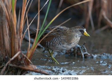 Worn adult Sora Rail emerging from reed bed.