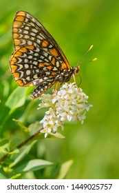 A worn Baltimore Checkerspot collecting nectar from a white flower. Taylor Creek Park, Toronto, Ontario, Canada.