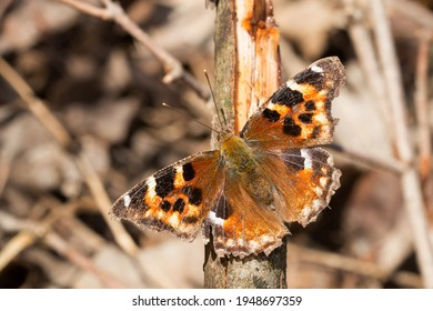 A worn Compton Tortoiseshell newly emerged from winter hibernation is perched on a broken branch basking in the sun. Also known as a Fasle Comma. Taylor Creek Park, Toronto, Ontario, Canada.