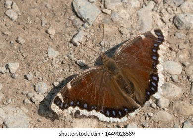 A worn Mourning Cloak Butterfly is puddling on the gravel path collecting salts and minerals. Also known as a Camberwell Beauty. Carden Alvar Provincial Park, Kawartha Lakes, Ontario, Canada.