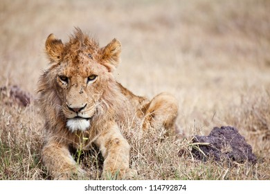 Worn out and Battered, a young male lion seems to have had better days and hard nights. Serengeti National Park, Tanzania. Portrait of a lion.