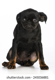 worried puppy - brussels griffon with worried expression on white background