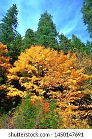Worth Its Weight in Gold - Autumn scene at the aspen and maple trees by Carmen Reservoir in the Cascade Range - McKenzie River - OR