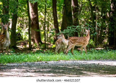 Wounded deer mother with two newborn calf crosses the road. Wildlife series.