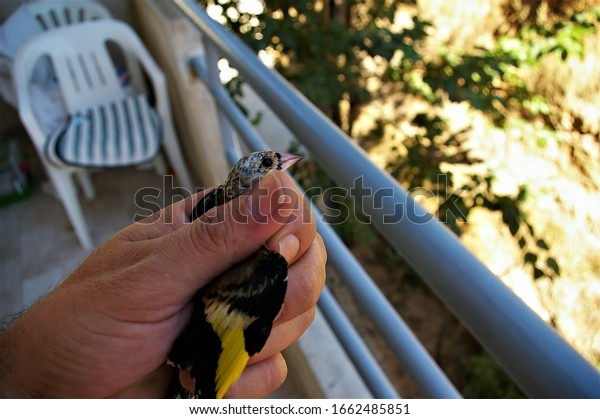 wounded-goldfinch-palm-savior-600w-16624