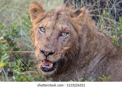 Wounded Lion with fresh cuts from fight