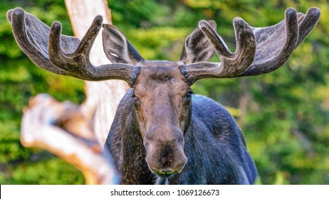 Wounded Old Bull Moose