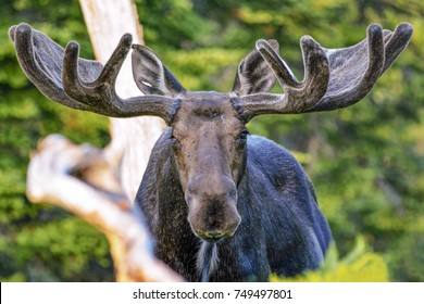Wounded Warrior Bull Moose