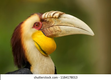 Wreathed Hornbill - Rhyticeros undulatus, beautiful colorful hornbill from Southeast Asian forests and woodlands.