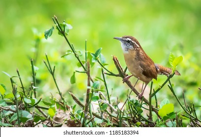 Wren bird from Kentucky urban wildlife photography