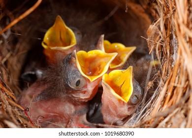Wren chicks in a nest