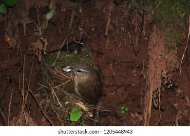 wren and his nest