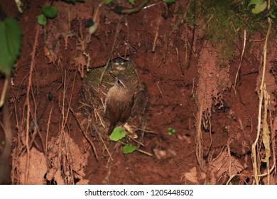 Wren near the nest