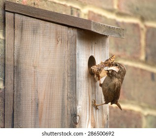Wren nest building in a nest box, bring fresh material to build the nest
