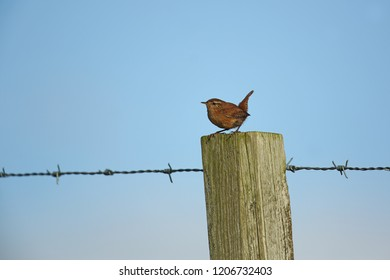 Wren on barbed wire