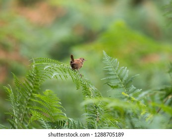 Wren on Ferns. Forest of Dean.