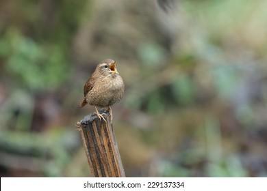 Wren singing