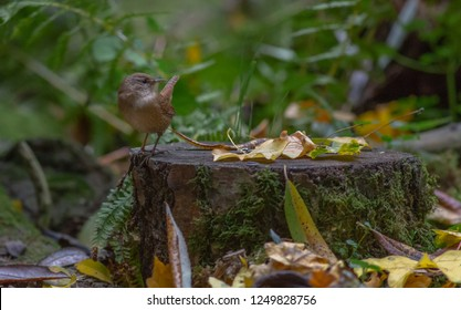 Wren Songbird in forest