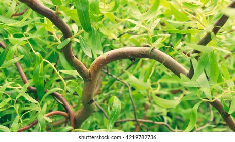 wriggling red twigs of curly willow with green leaves after the rain