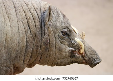 wrinkled head of a weird male babirusa pig boar with long curved canine tusks