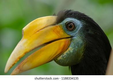 A wrinkled hornbill in profile