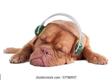 Wrinkled puppy is sleeping,  listening to music with headphones, isolated