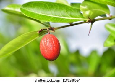 Wrinkled red fruit on tree