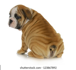 wrinkly puppy - english bulldog puppy with lots of wrinkles sitting with bum to viewer on white background