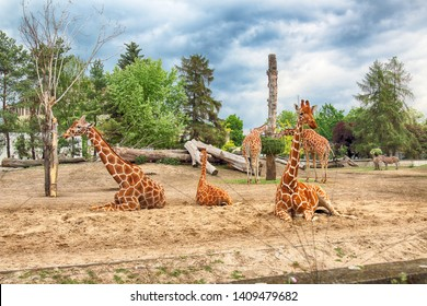 WROCLAW, POLAND - MAY 20, 2019: Giraffe. The Wroclaw Zoological Garden is the oldest and most visited zoo in Poland (and the fifth in Europe).