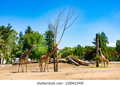 Wroclaw, Poland - May 6, 2018: Group of three giraffes behind a barrier at the Wroclaw zoo