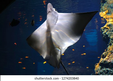 Wroclaw/Poland - 25 December 2018: Underwater tunnel in Wroclaw ZOO. Cramp-fish in blue water. Stingray swimming underwater. Stingray is a flat marine fish. Rays (skates) deep-water fish.