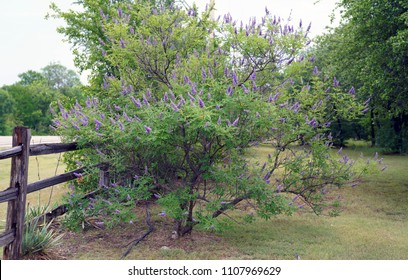 WS Vitex tree with fully blooming spikes, in large yard next to split rail fence.