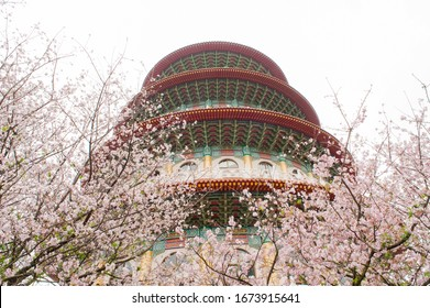 Wuji Tianyuan Temple is surrounded by densely packed cherry trees (Yoshino Sakura)every spring,  Taipei, Taiwan