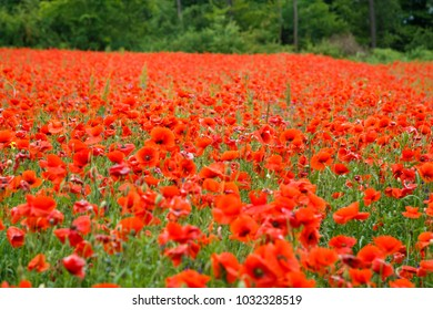 Wunderful poppy field with green trees