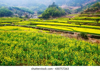 Wuyuan county Qingyuan village rape flowers.