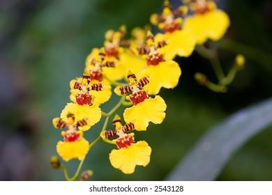 Wydler's Dancing-lady Orchid (Oncidium altissimum)